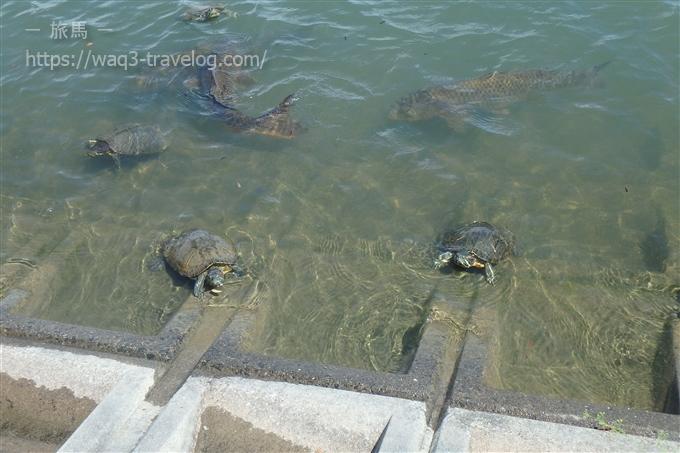 昆陽池公園 亀がひなたぼっこ中