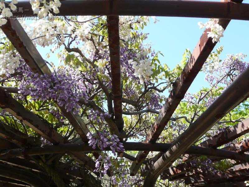 近所の藤棚
