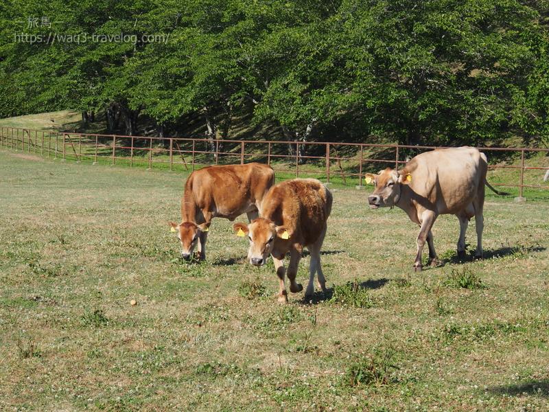 共進牧場のジャージー牛