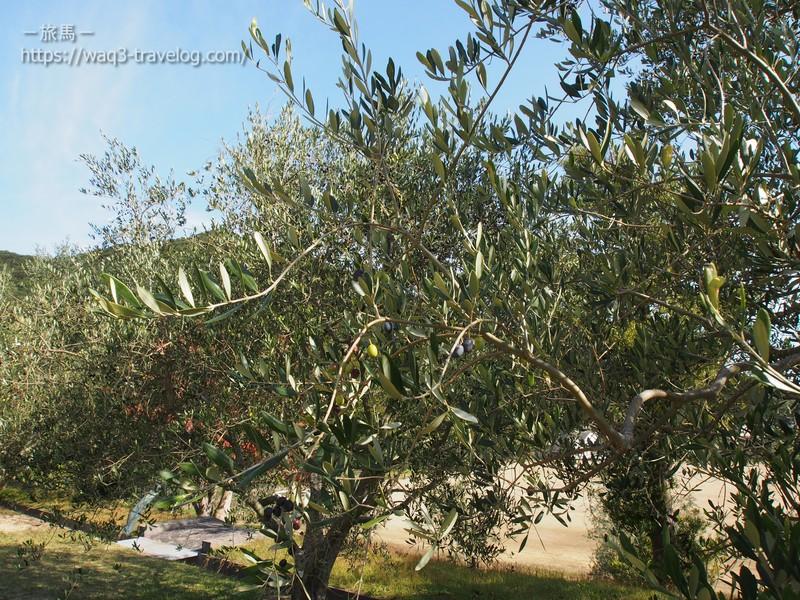 オートビレッジYOSHIDAのオリーブの木