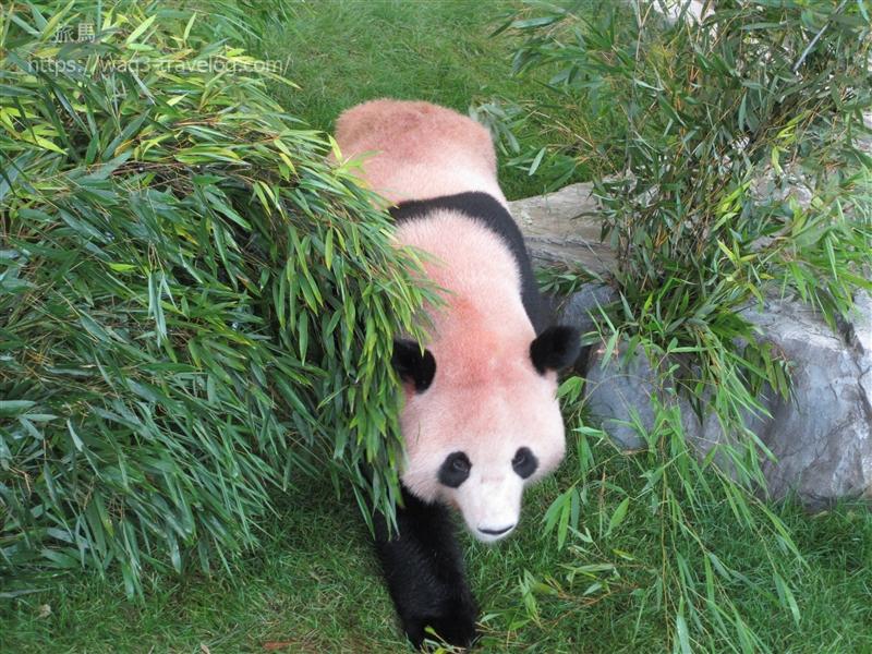 南紀白浜アドベンチャーワールドのパンダ