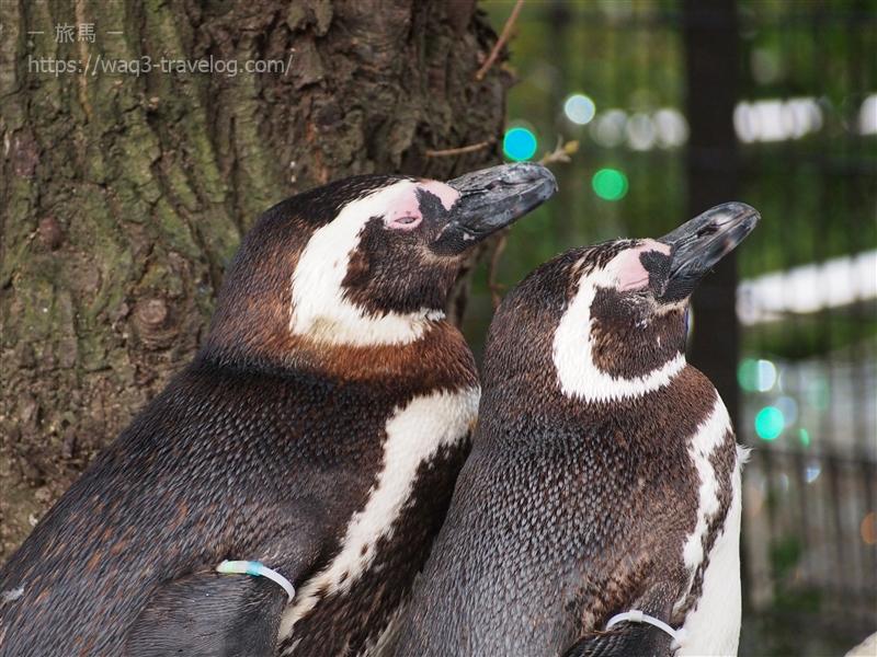 須磨水族園のマゼランペンギン