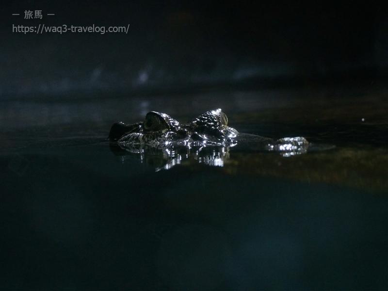 須磨水族園のイリエワニ